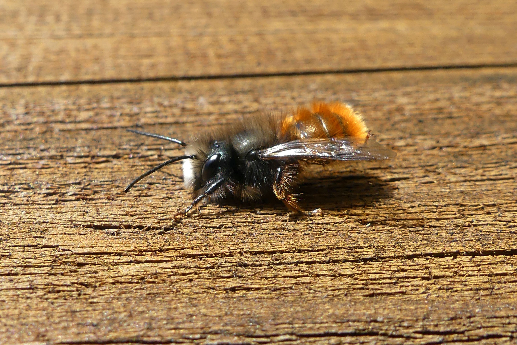 Männliche Gehörnte Mauerbiene (Osmia cornuta)