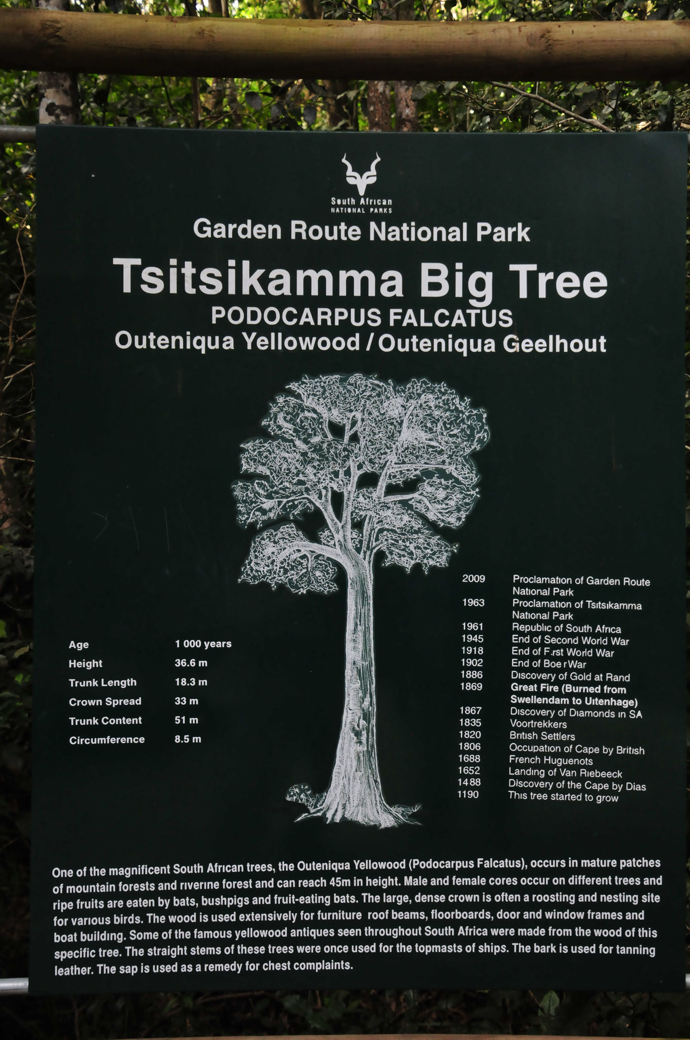 ...der tausendjährige Baum (Tsitsikama big tree - Outeniqua Yellowwood)
