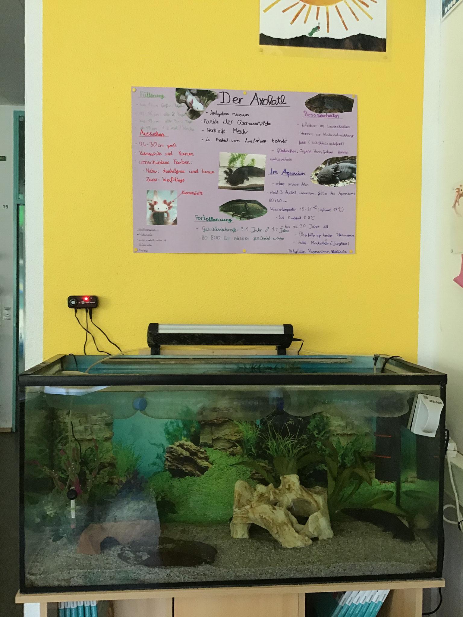 ... und noch weitere Axolotl
