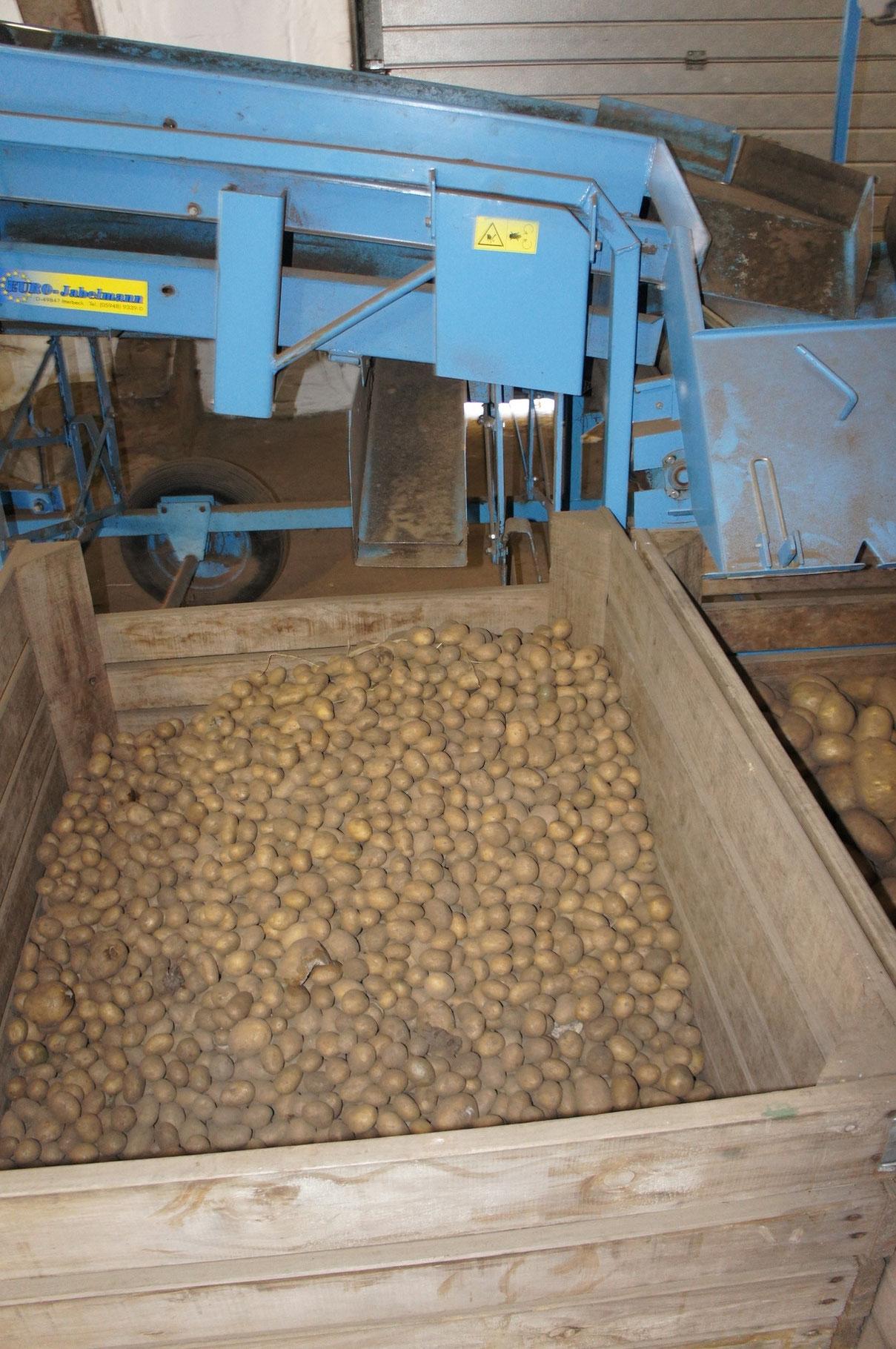 Kleine Kartoffeln werden durch ein Sieb aussortiert.