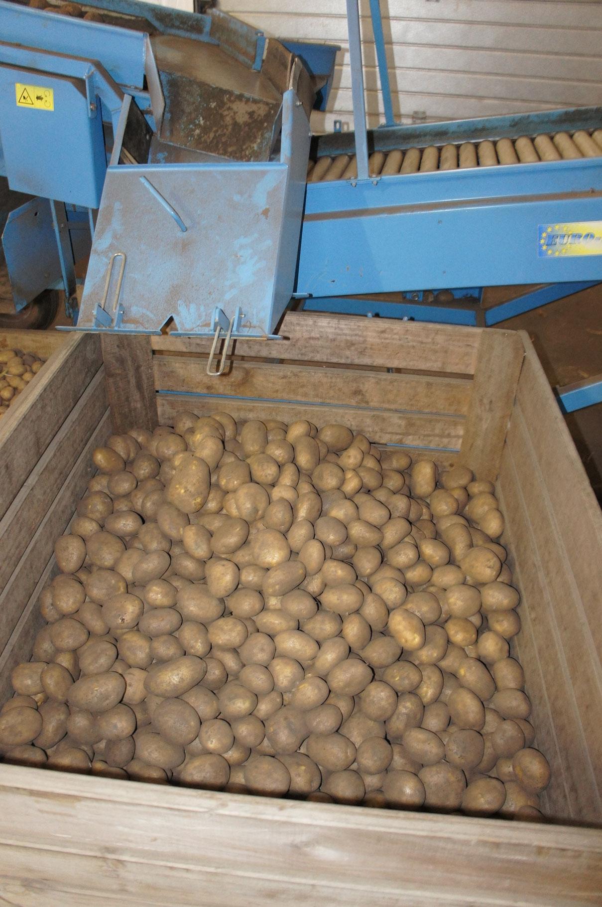 Große Kartoffeln können auch aussortiert werden.
