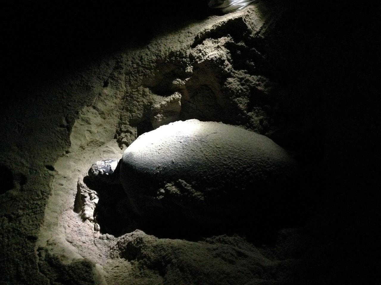 Eine Schildkröte am Eierlegen am Strand von Ras-al Jinz