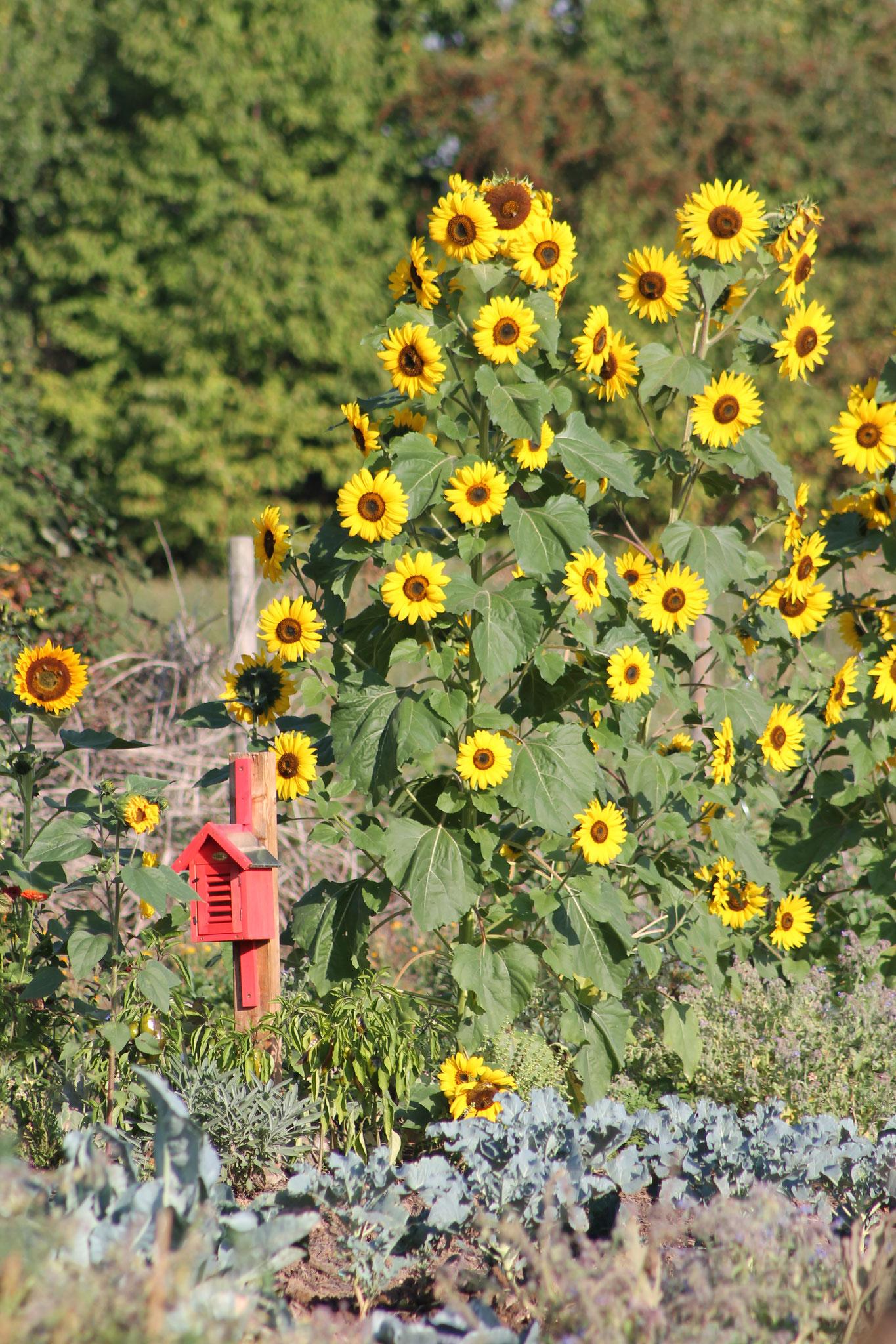 Die Blütenpracht der Sonnenblumen im November