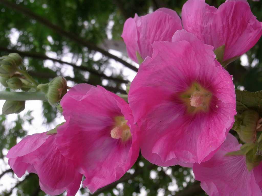立葵も綺麗に咲いていました