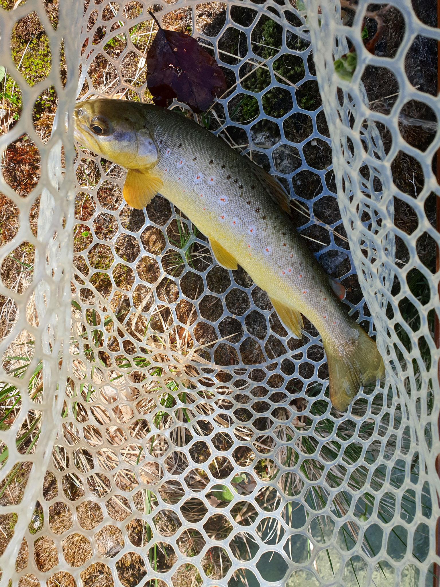 2019.04.07 BF Natur 25 cm, so sehen Fische aus, welche den Winter unter Prädatoren überleben