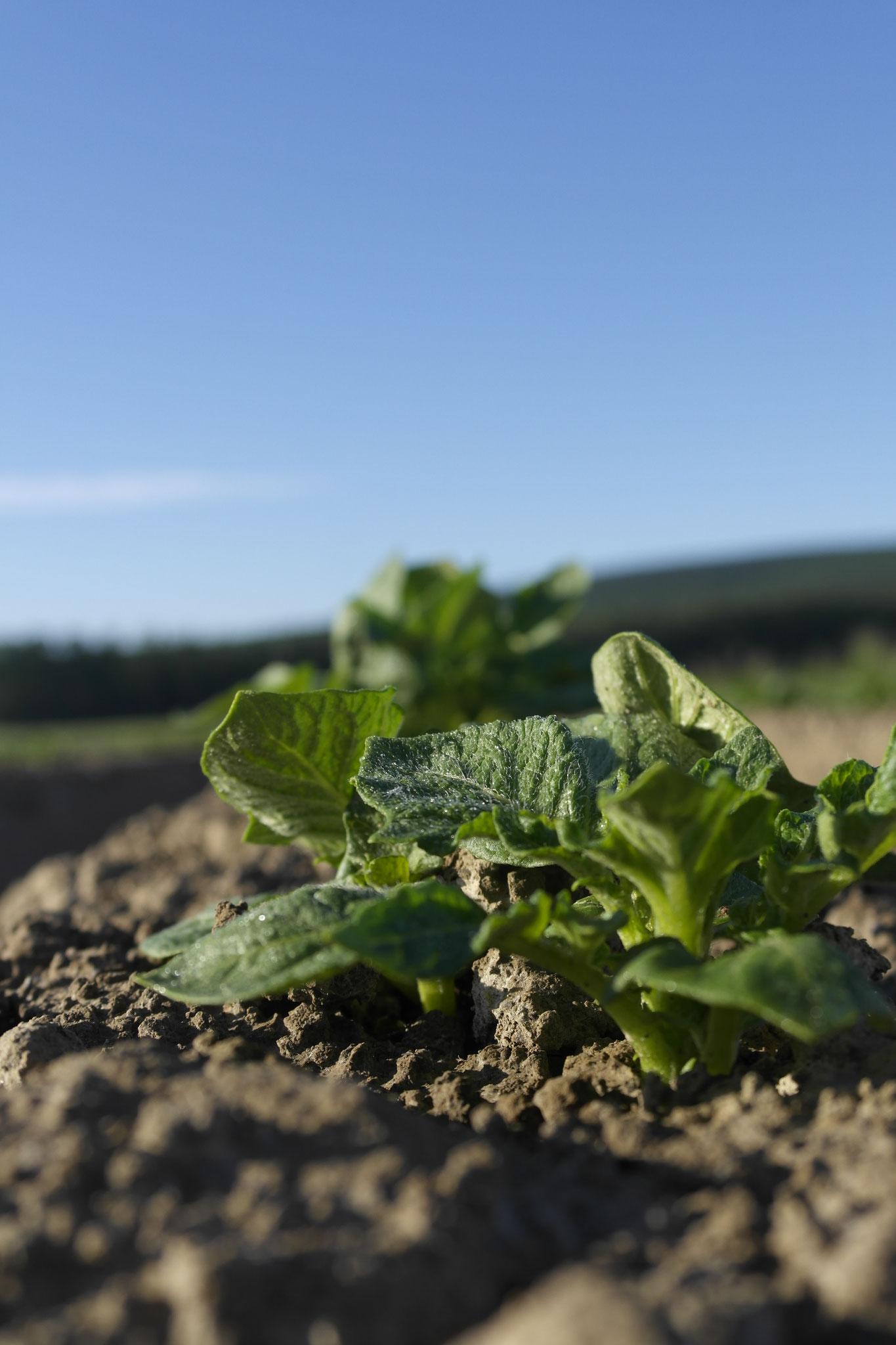 die neue Ernte regt sich, wächst und gedeiht: BELANA für KARToGGIO® ... gut Ding braucht Weile, Sonne und Regen