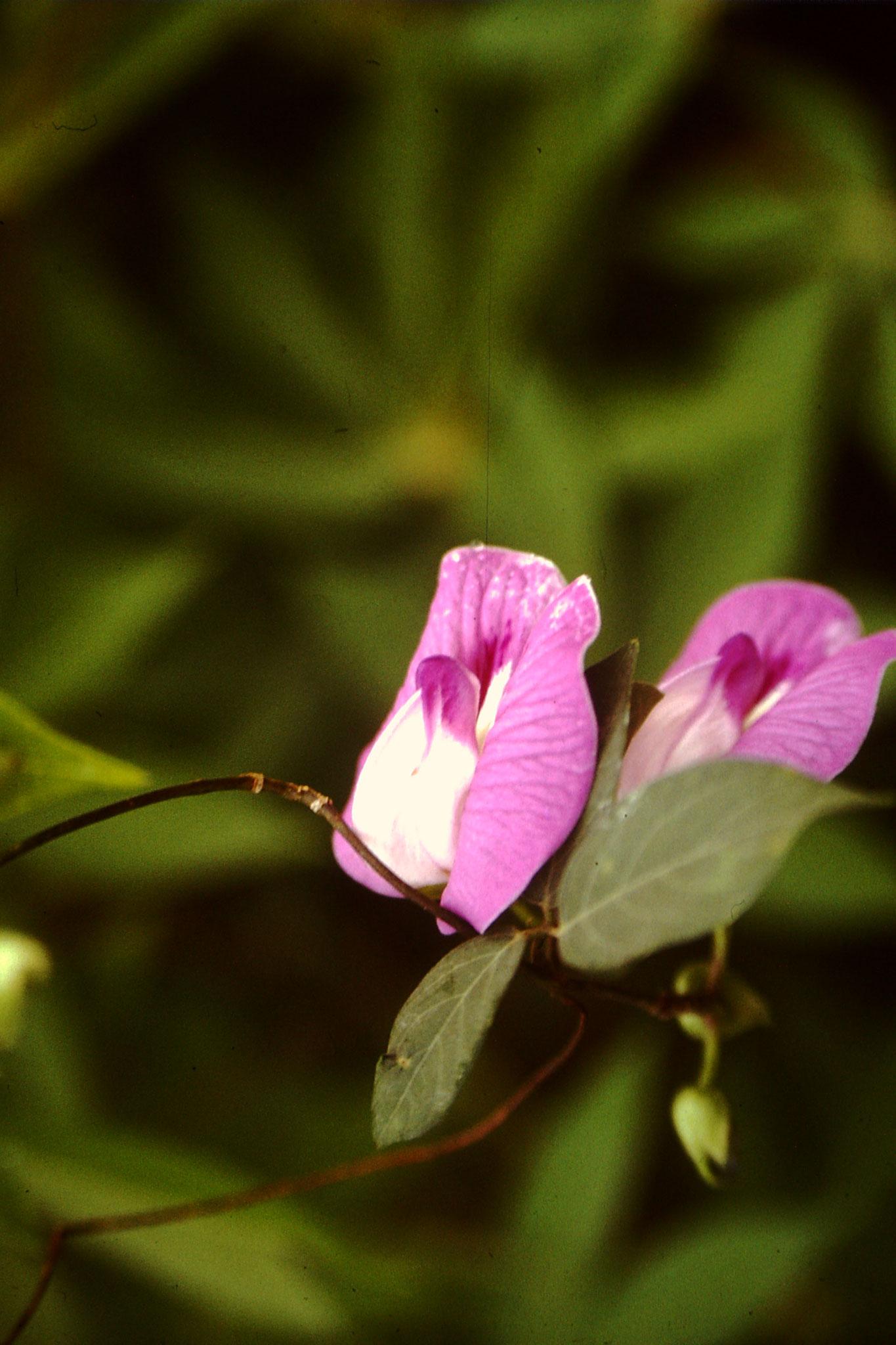 Schöne Blume. Ich weiss nicht ob es eine Orchideenart ist.