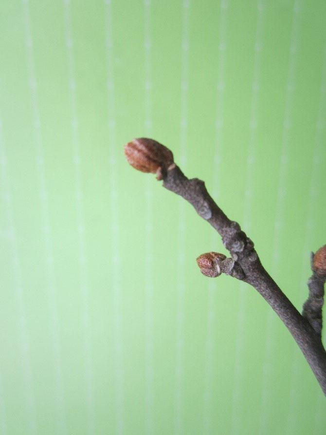 トウグミ 冬芽