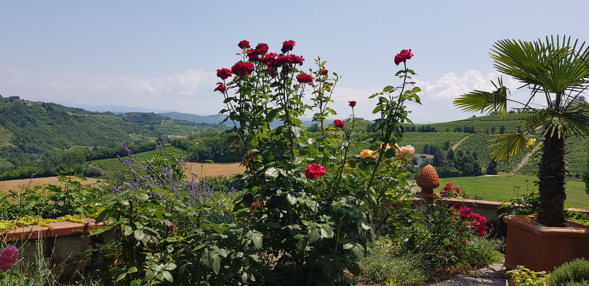 Rosen in voller Blüte