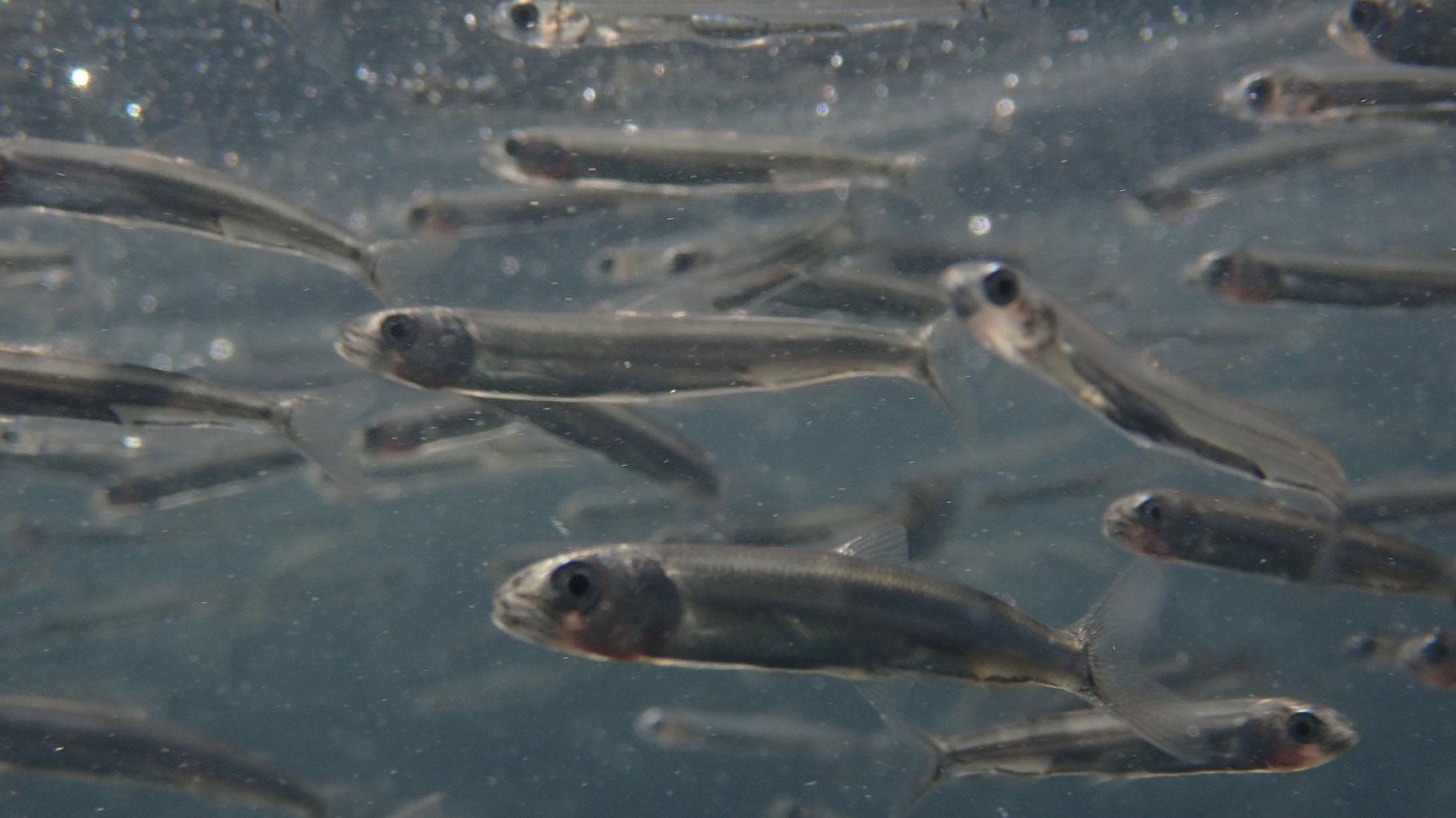 厚木あゆ種苗センターに蓄養されている相模湾産の放流用稚アユ種苗