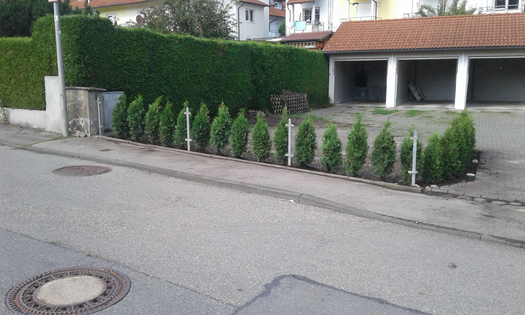 Pflanzung Thuja-Hecke und Anlage Blumenwiese in Wangen - NACHHER