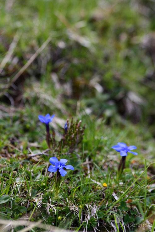 Gentiane printanière - Doriane GAUTIER, Couserando - Randonnée Nature Ariège Pyrénées