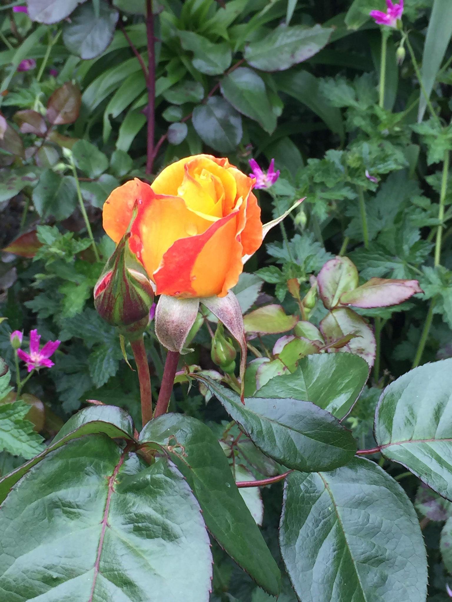 """Rosa """"Soleil du monde"""""""