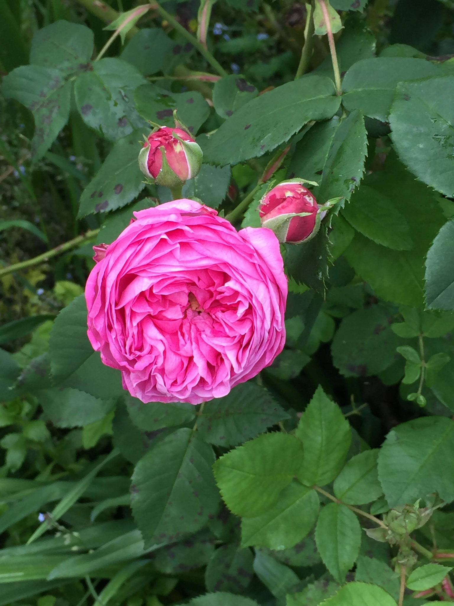 "Rosa ""Louise Odier"""