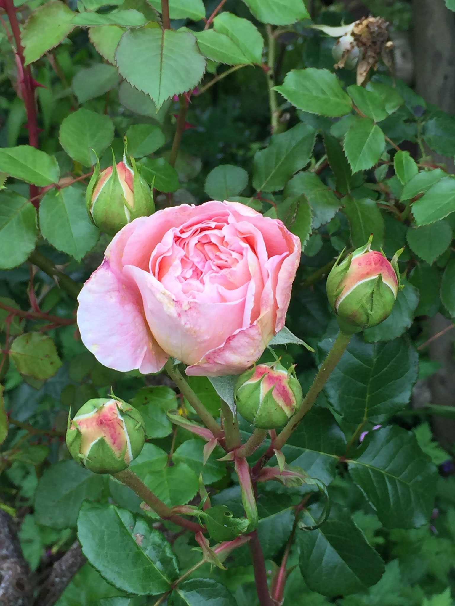 "Rosa ""Abraham Darby"""