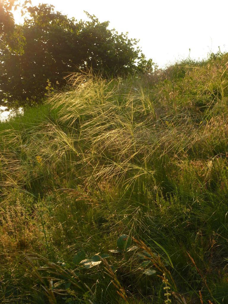 Das landesweit vom Aussterben bedrohte Haar-Pfriemengras (Stipa capillata). Foto: ÖNSA/M. Neßmann