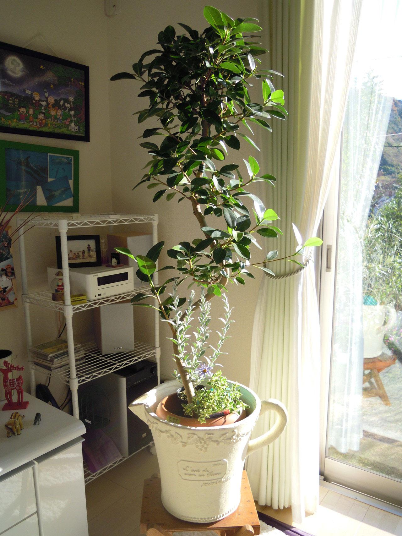 ベンガルゴムの木