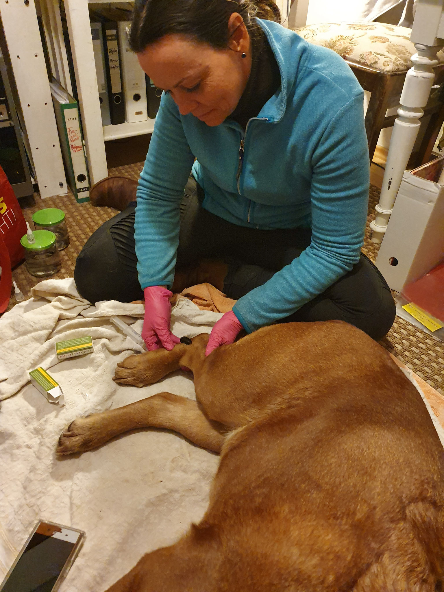 Blutegel gegen Arthrose - am Sprunggelenk von Bordeauxdogge Emma