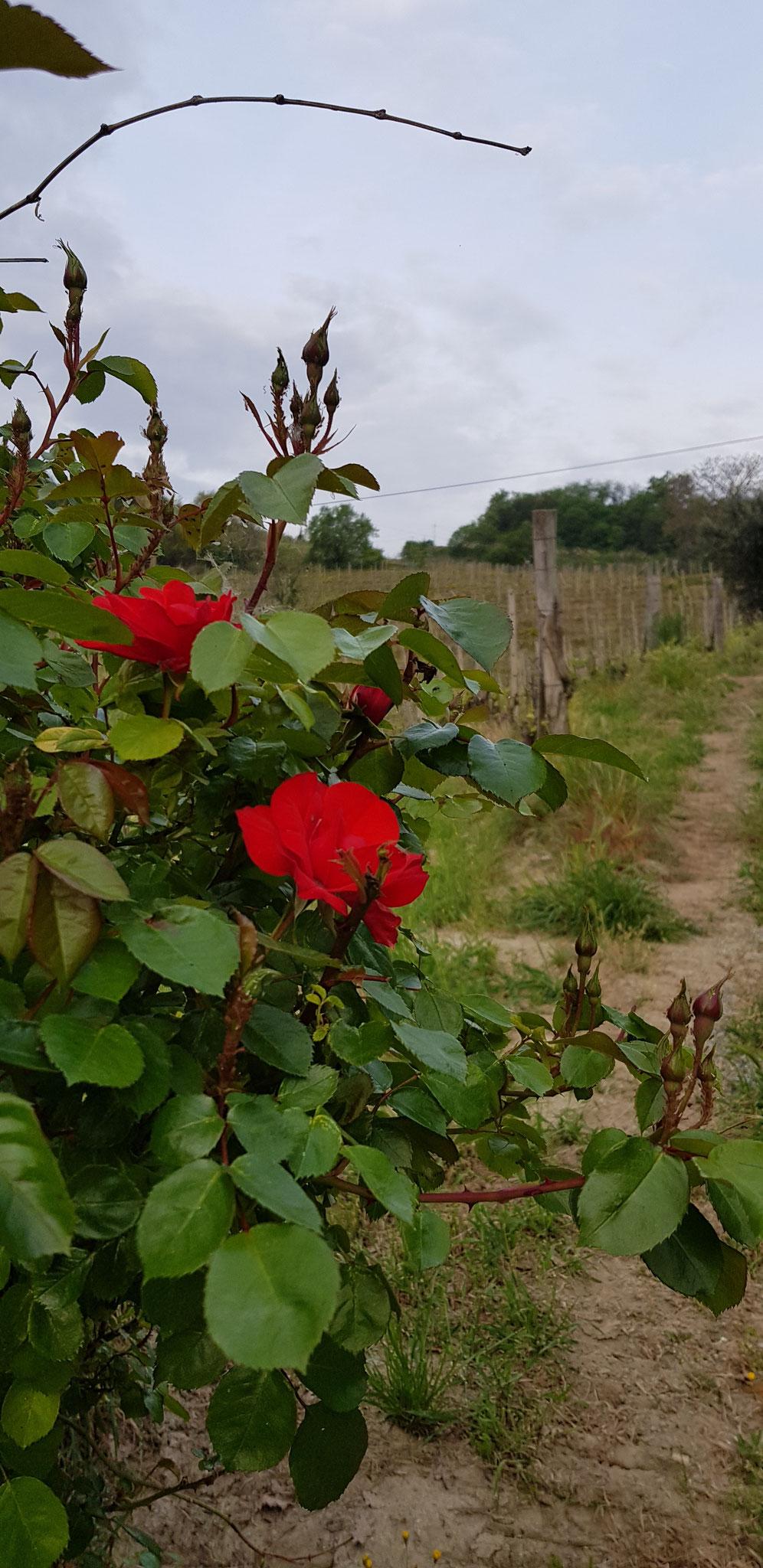 die Rosenbüsche entlang der Rebhügel sehen besonder attraktiv aus.
