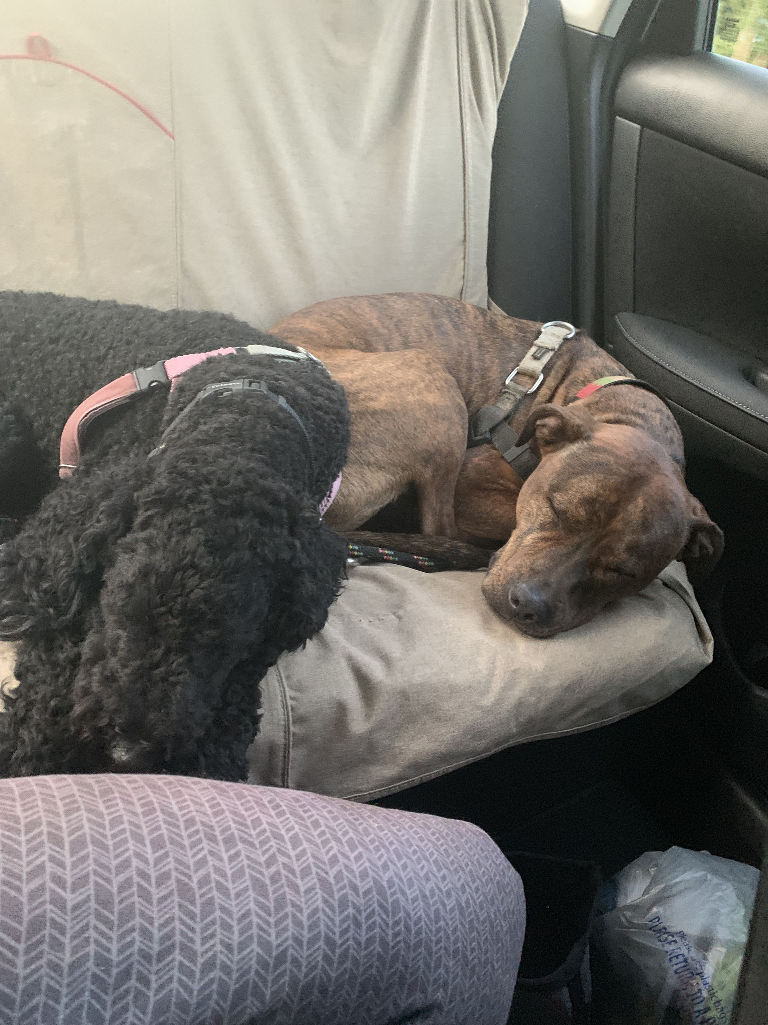 Helper dogs Heera (poodle) and Ren (Pitbull) snooze after a decompression walk