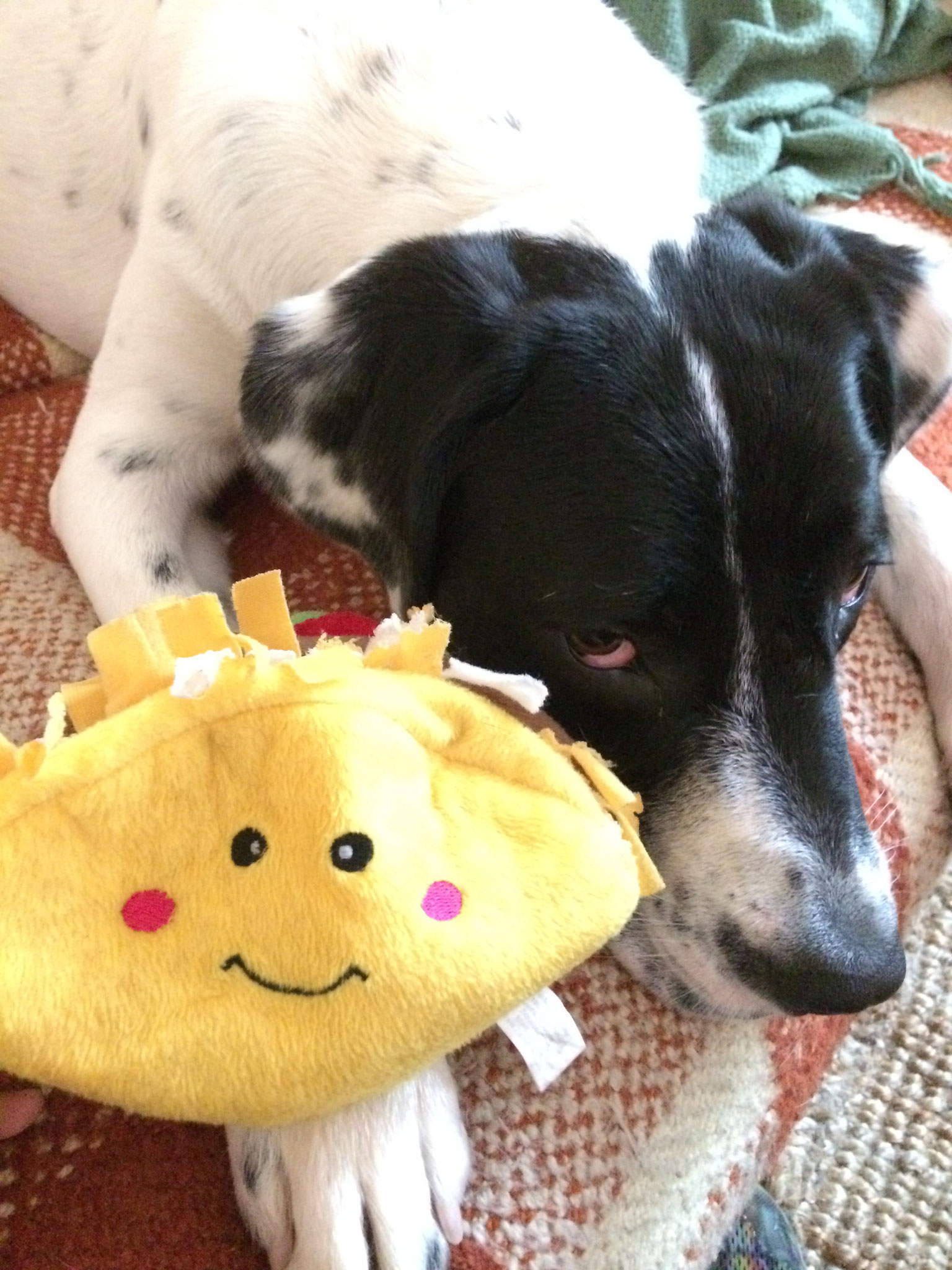 Finn (pointer) waits patiently for his new taco toy