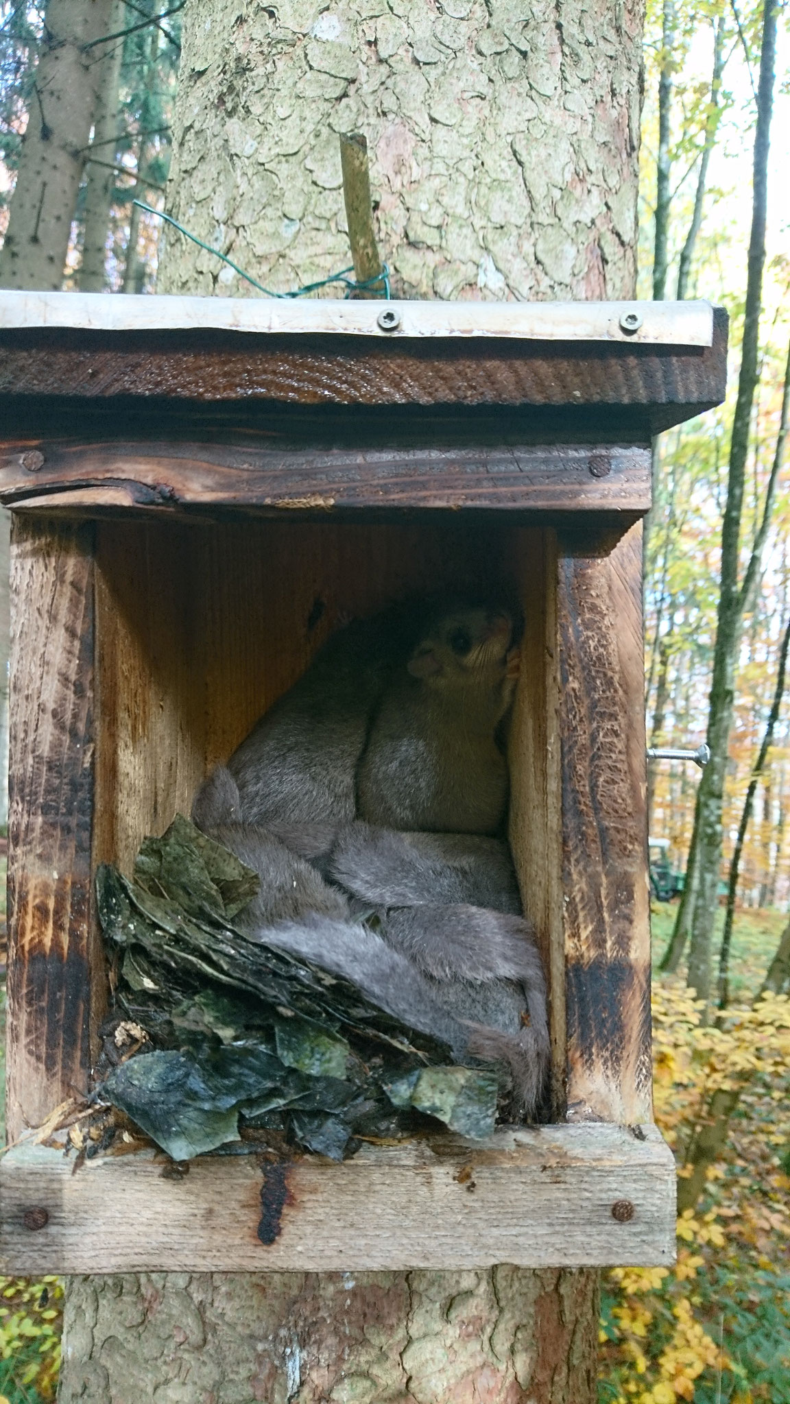 Siebenschläfer im Holzkasten