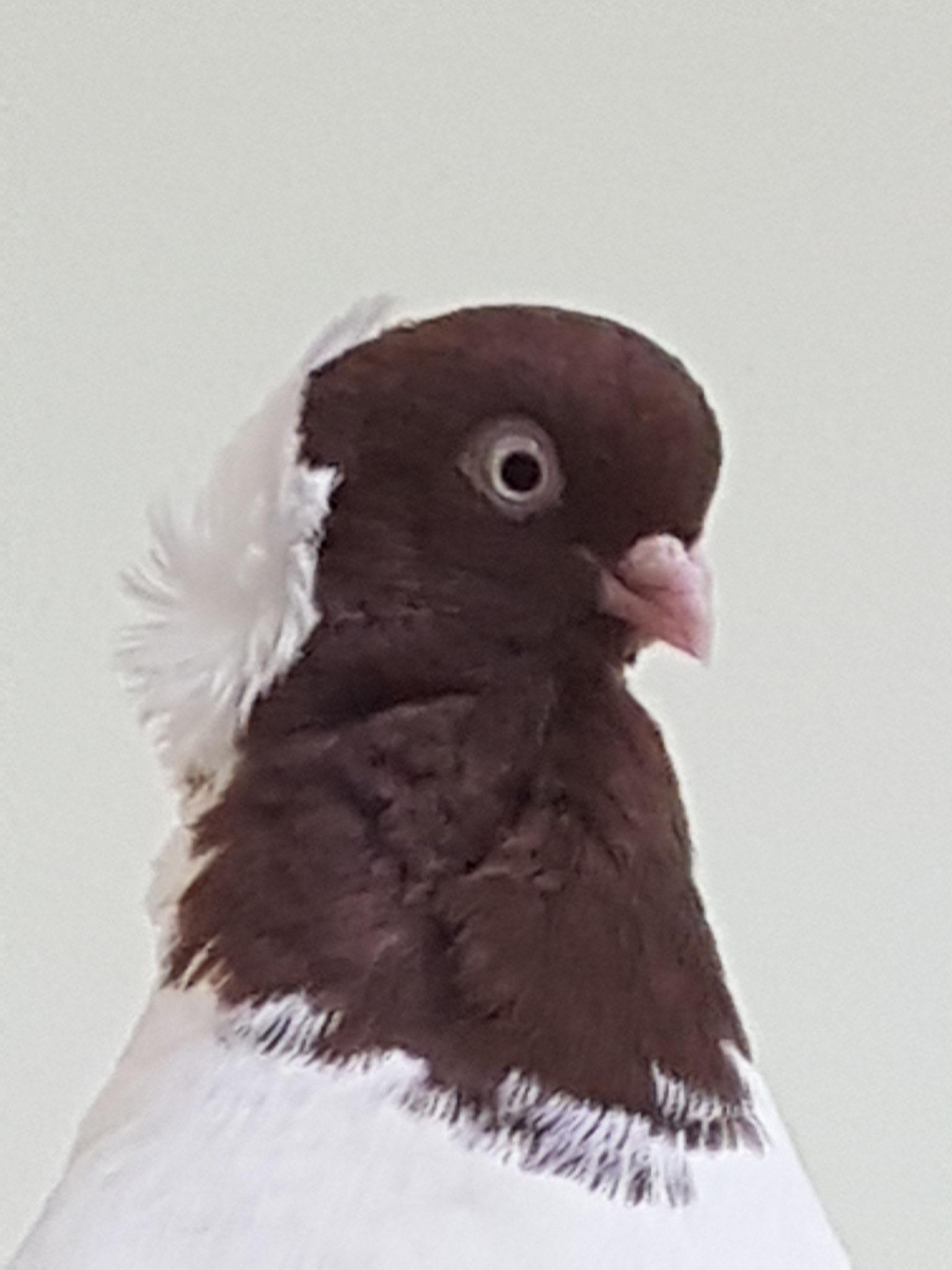 Diese wunderschöne Taube wurde auch wieder hochgepäppelt und in Freiheit entlassen.