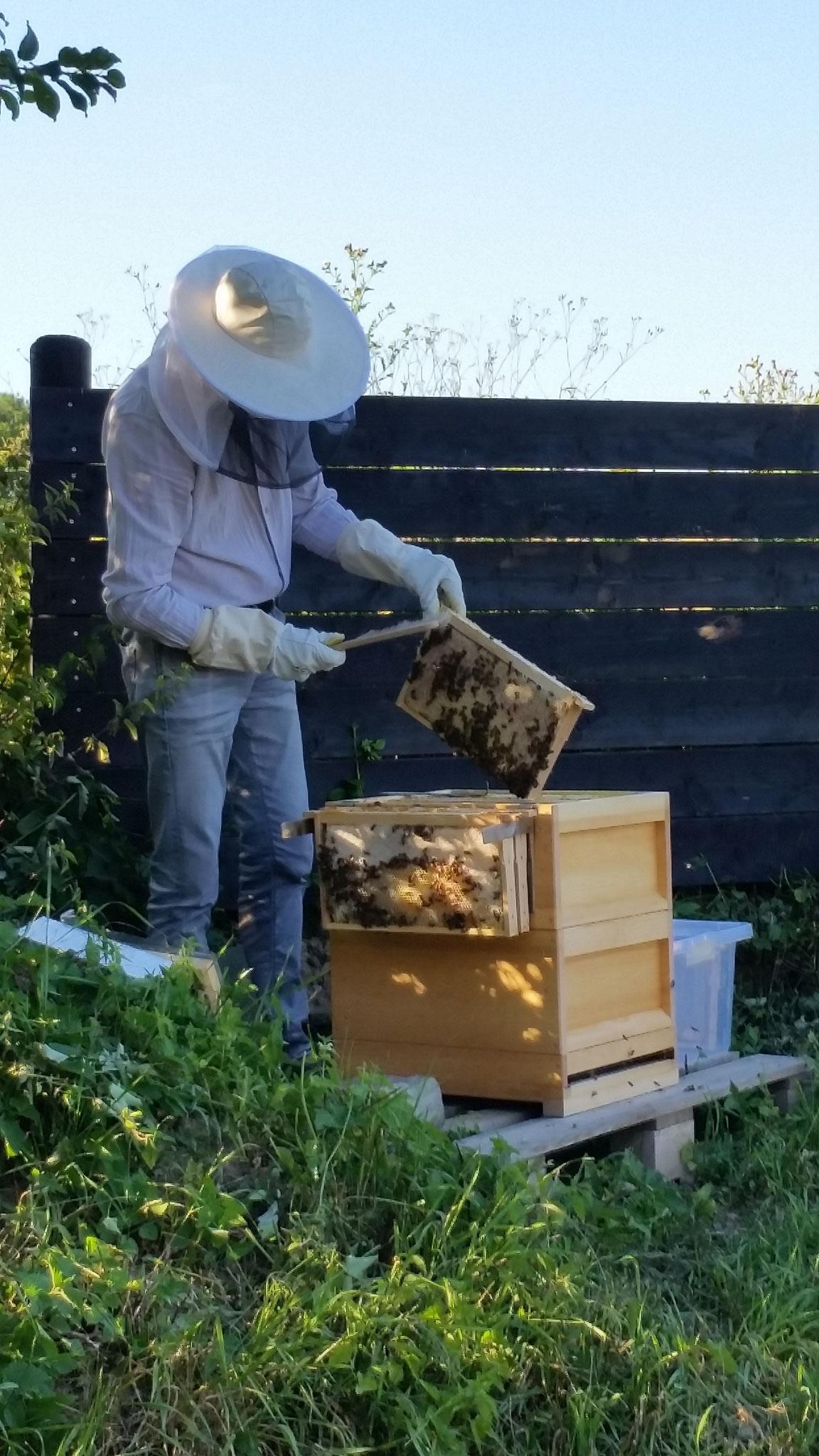 die Bienen werden vorsichtig von der Wabe gestrichen.