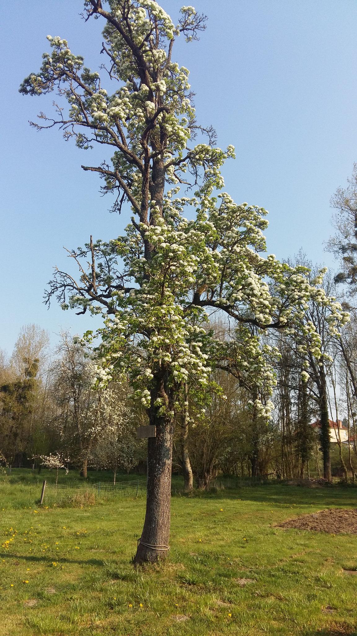 Poirier en fleurs - gîte proche de Ste-Ménéhould, Bar-le-Duc, Verdun