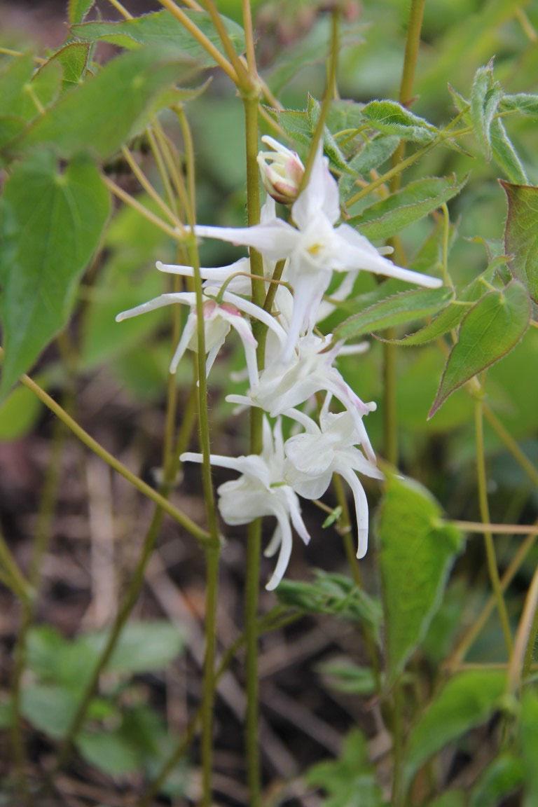Epimedium grandiflorum White Queen