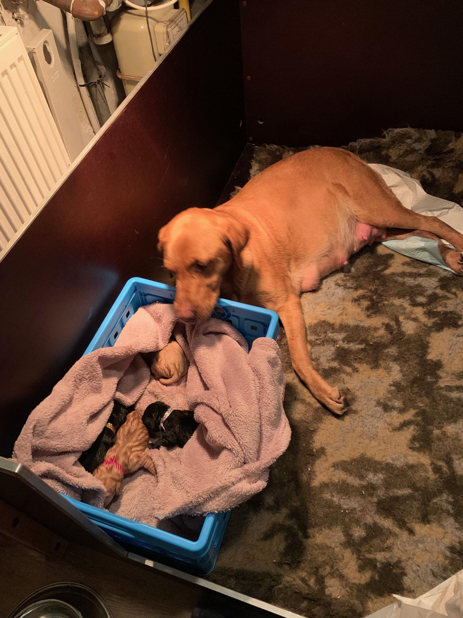 tussendoor de pups even in het kratje met kruiken. zo kon Rosa zich richten op de komst van de volgende pup.