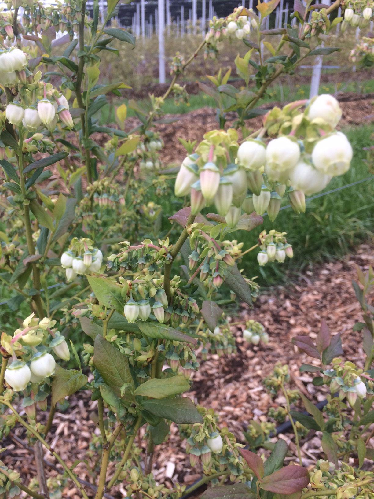 Bei den Heidelbeeren öffnen sich die ersten Blüten