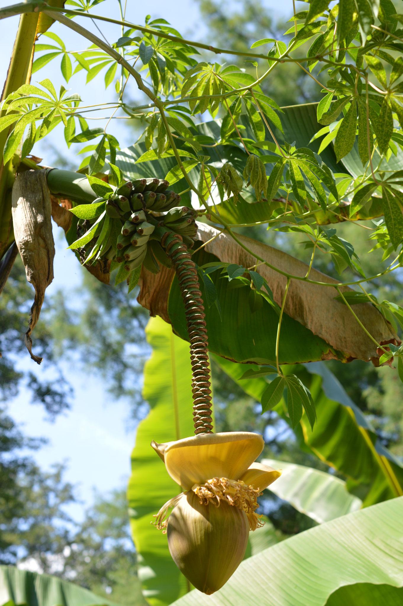 Eine Bananenstaudenblühte