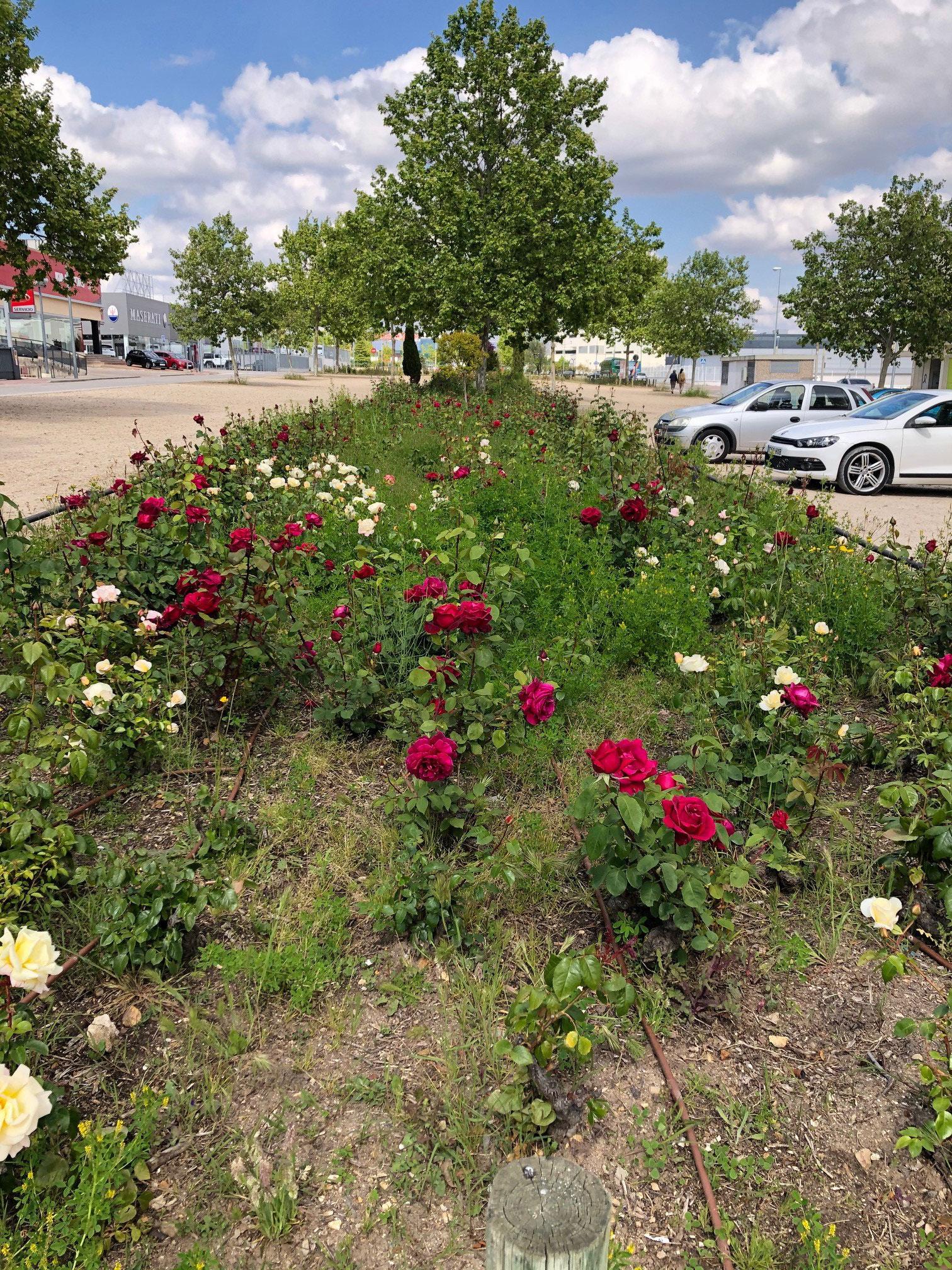 Überall wunderschöne Rosen auf den öffentlichen Plätzen.