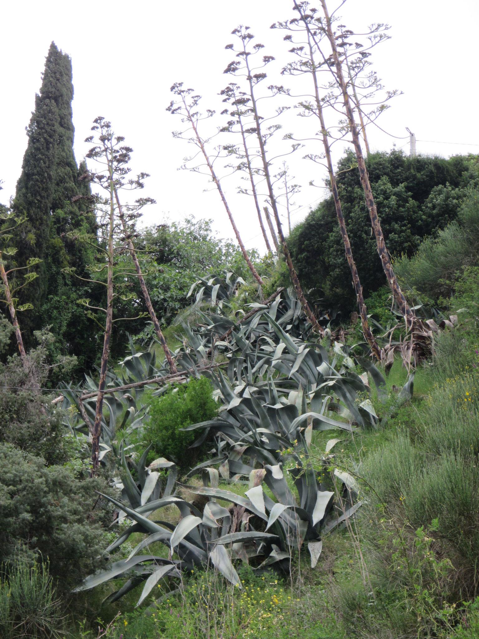 Riesige Aloevera Pflanzen wachsen einfach wild überall.
