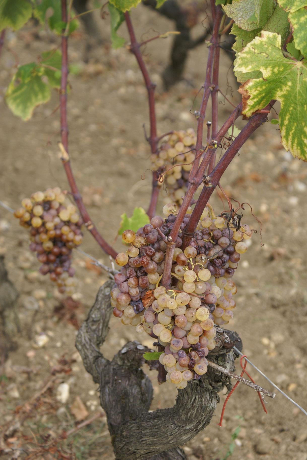 La grappe d'Yquem tachée de couleur brune par le fameux botrytis cinéréa qui nécessite de nombreux passages des vignerons sur chacun des pieds de vignes.