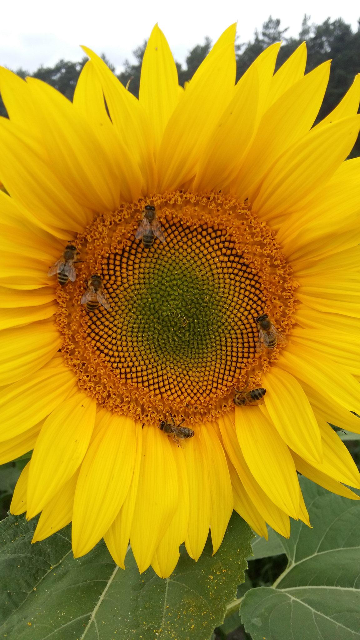 Gleich sechs Sammlerinnen auf einer Sonnenblumenblüte