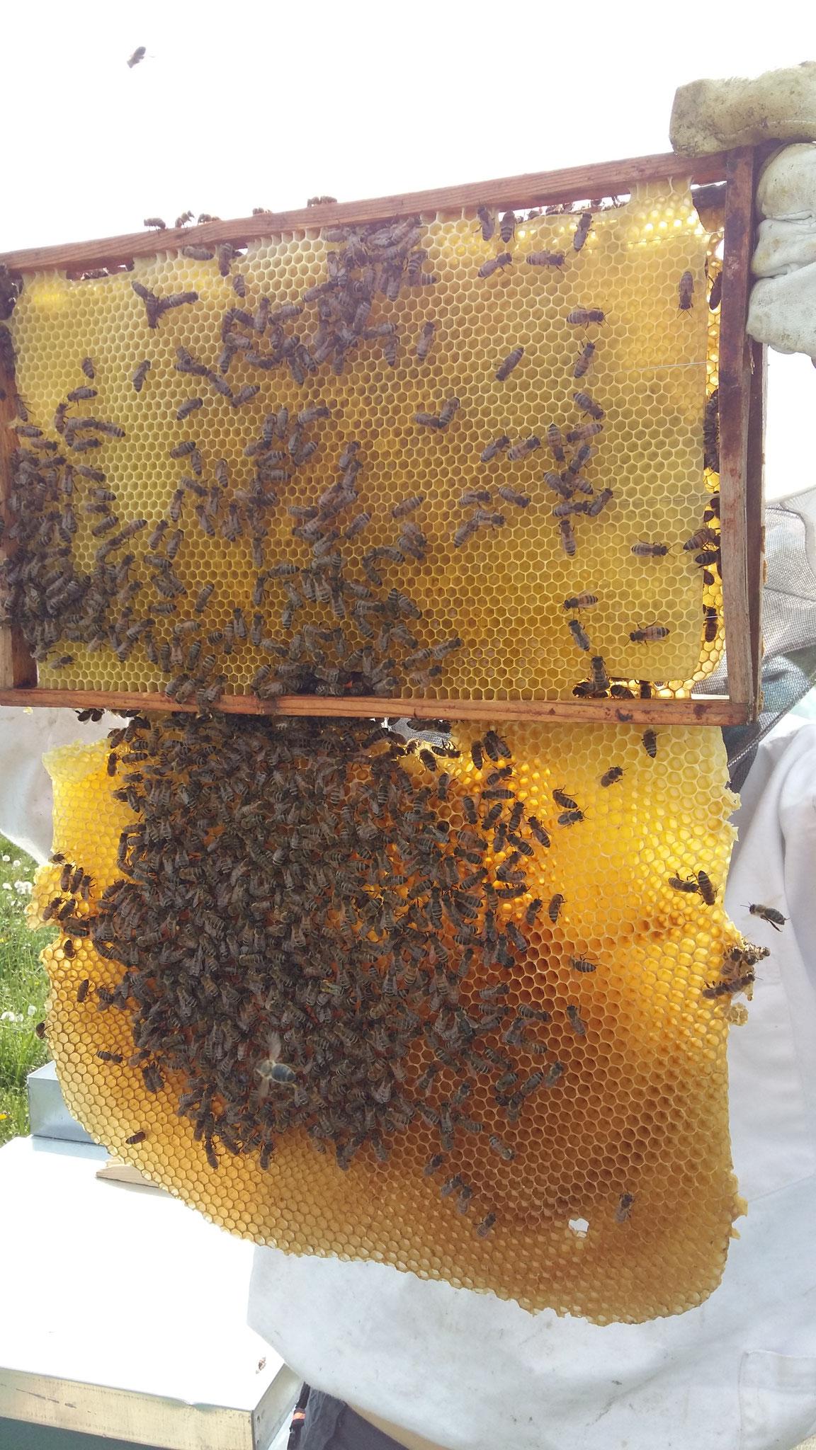 Unsere Bienen sind fleißig - hier haben sie gleich eine Wabe unten angebaut