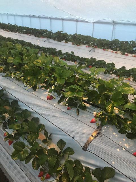 12月11日 ビニールハウスのいちご達! 赤いいちごが沢山並んで皆様のお越しを待ってます!今なら早生いちご、独りじめ出来ちゃうかも!?
