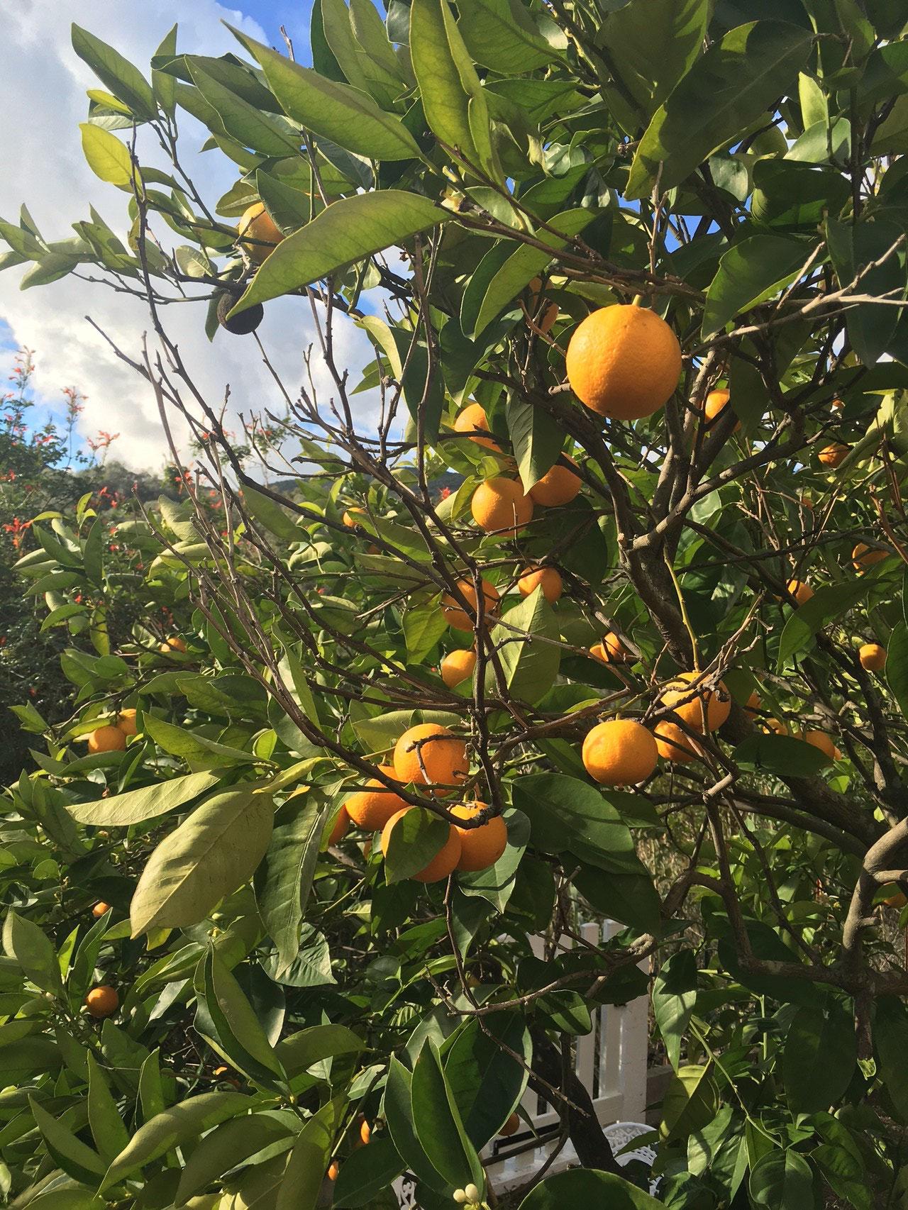 Un des orangers du jardin - La maison de Ninette -