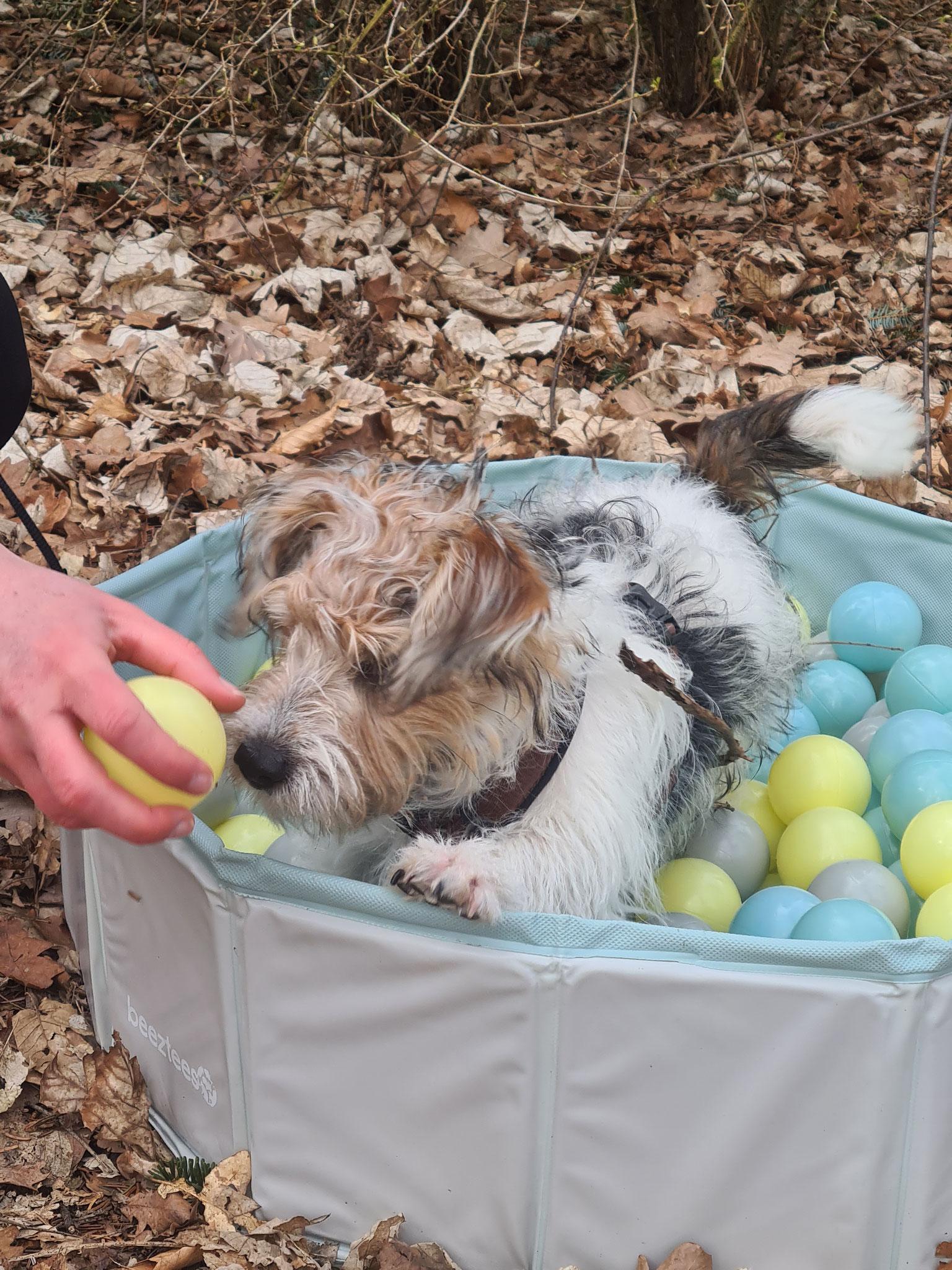 Kleiner Hund beim Welpenkurs in einem Bällebad