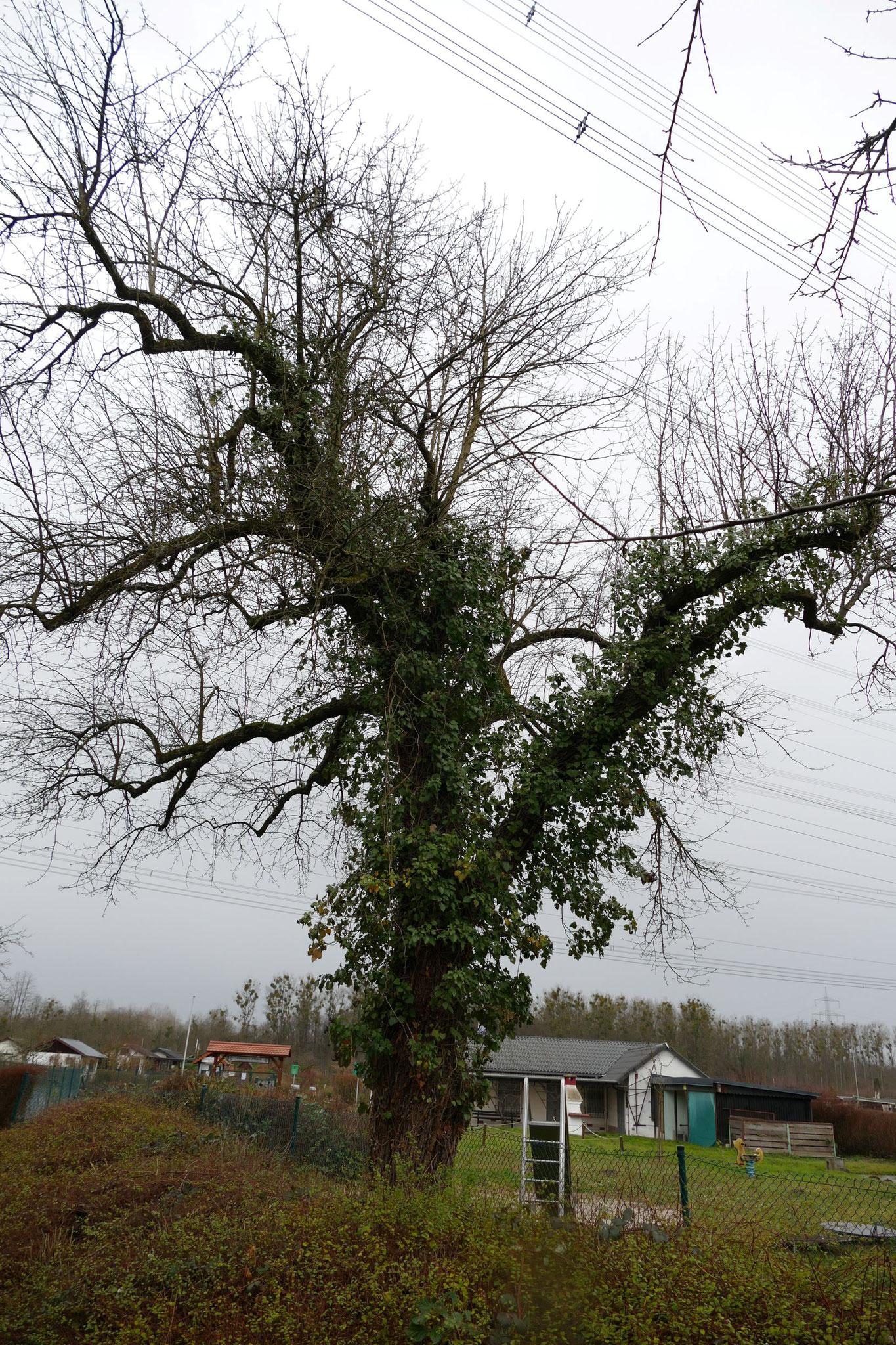 Aber Streuobstwiesen müssen gepflegt werden: ungeschnittene Obstbäume gehen langfristig kaputt