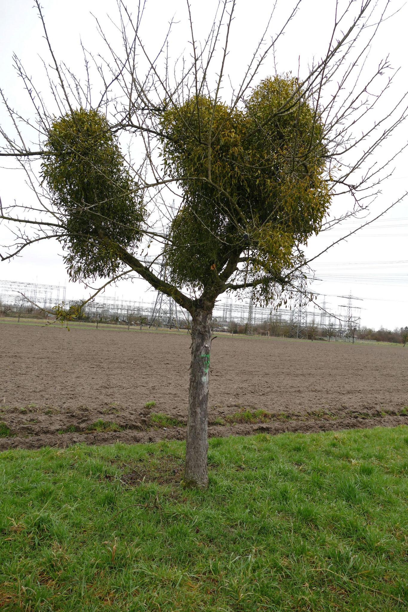 Ein großes Problem für Streuobstbäume stellt der Befall mit Misteln dar.