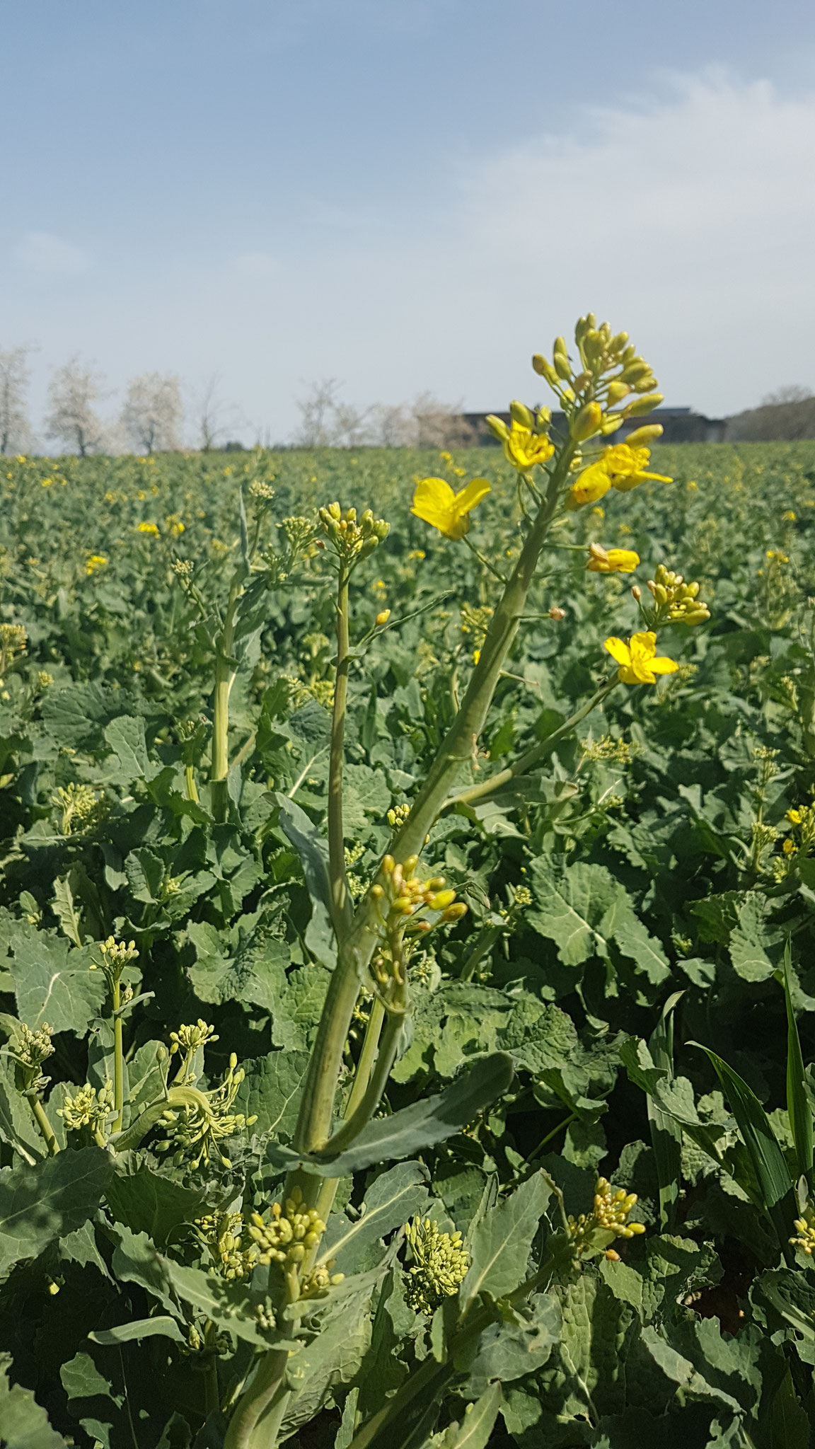 Rapspflanze kurz vor der Blüte