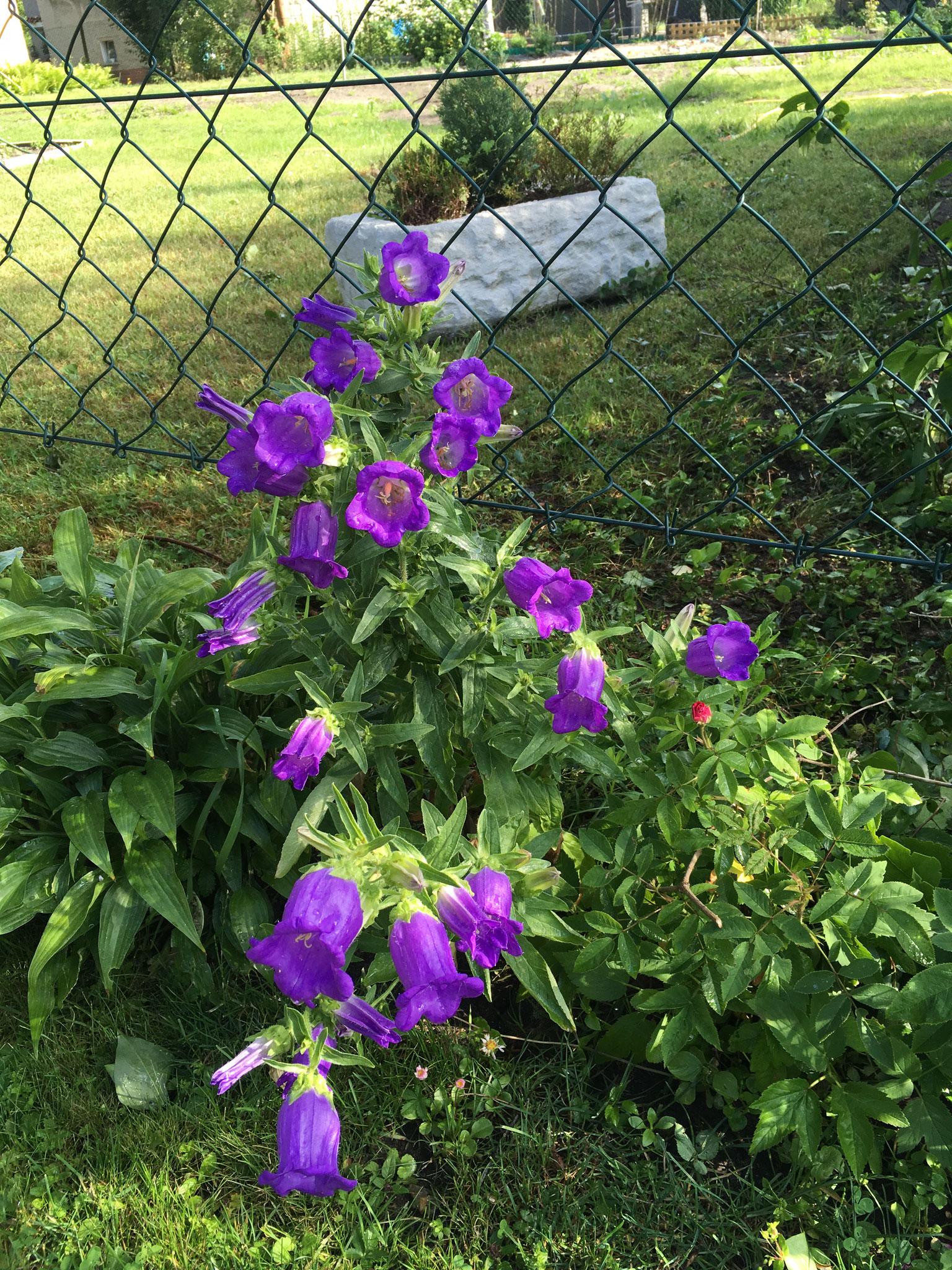 Marienglockenblume *
