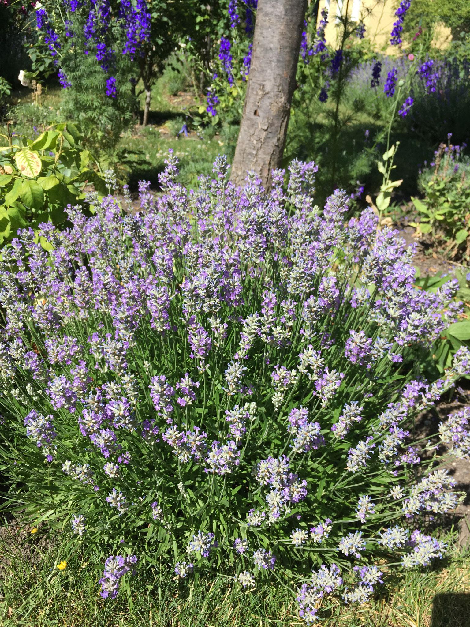 Lavendel angustifolia lila