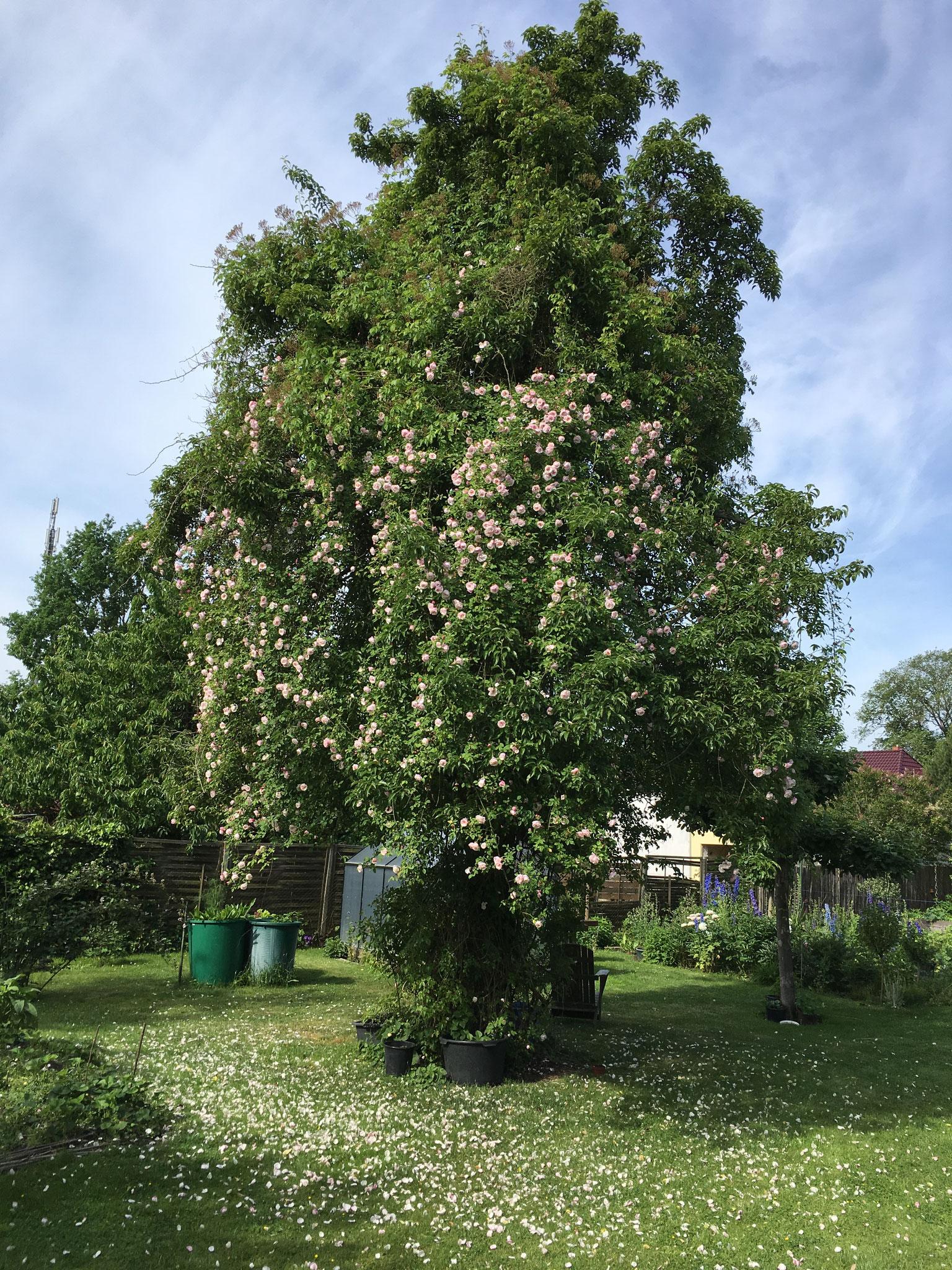 Wiesenmittelpunkt: Birnbaum mit Rose