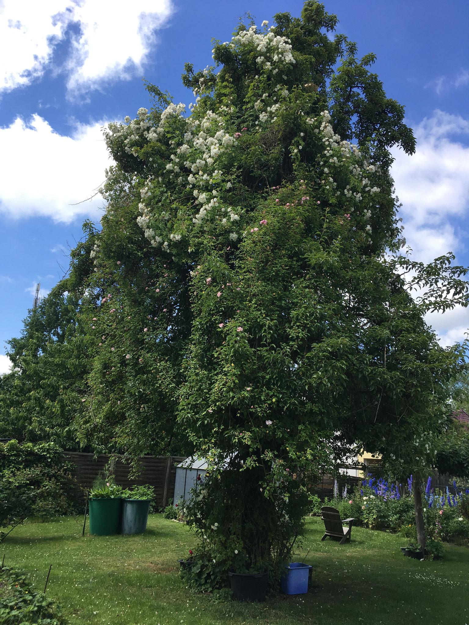 Rambler Ayrshire Queen und Filipes Kiftgate im Birnbaum