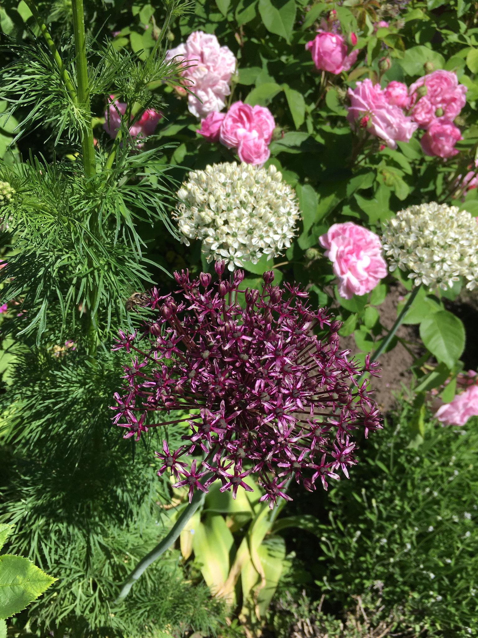 Rosenbeet mit Allium