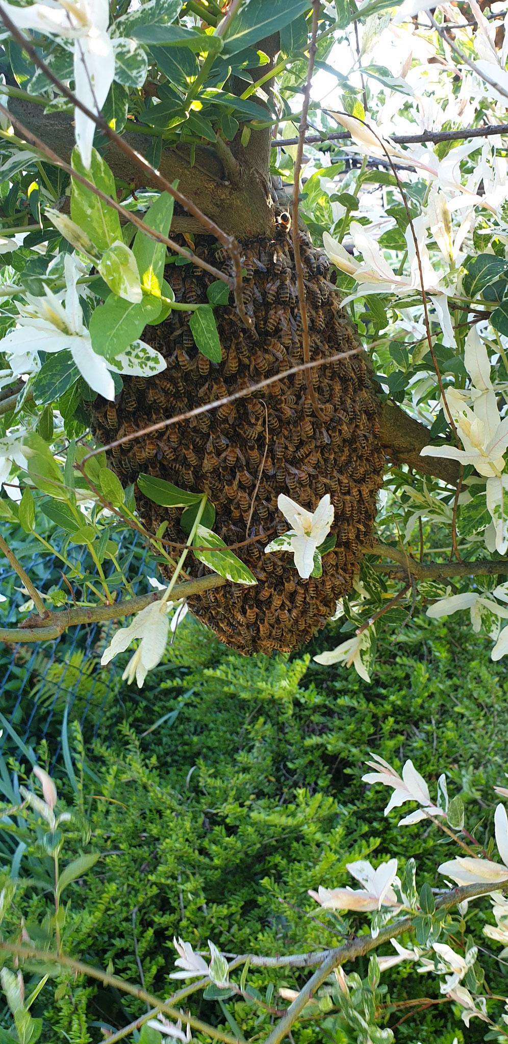 Schwarm im Weidenbaum in angenehmer Arbeitshöhre von 1,20m